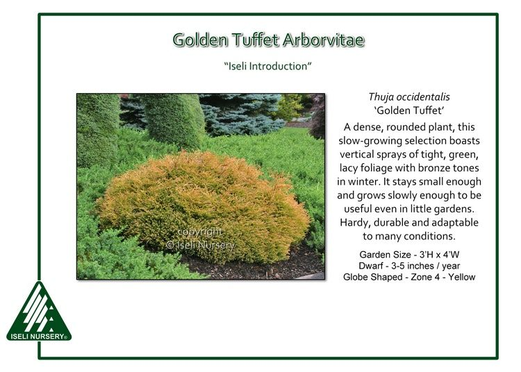 Golden Tuffet Arborvitae This pillow-shaped tuffet grows wider than tall, reminiscent of a mushroom cap. The golden-orange foliage of Thuja occidentalis 'Golden Tuffet' has an unusual braided texture…