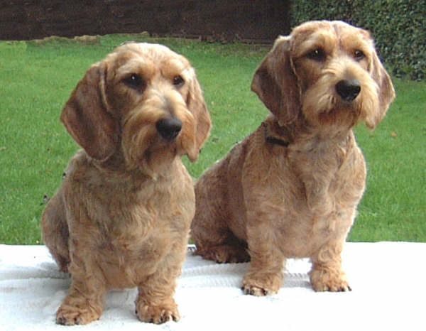 standard wirehaired dachshunds | standard wire haired dachshund ...