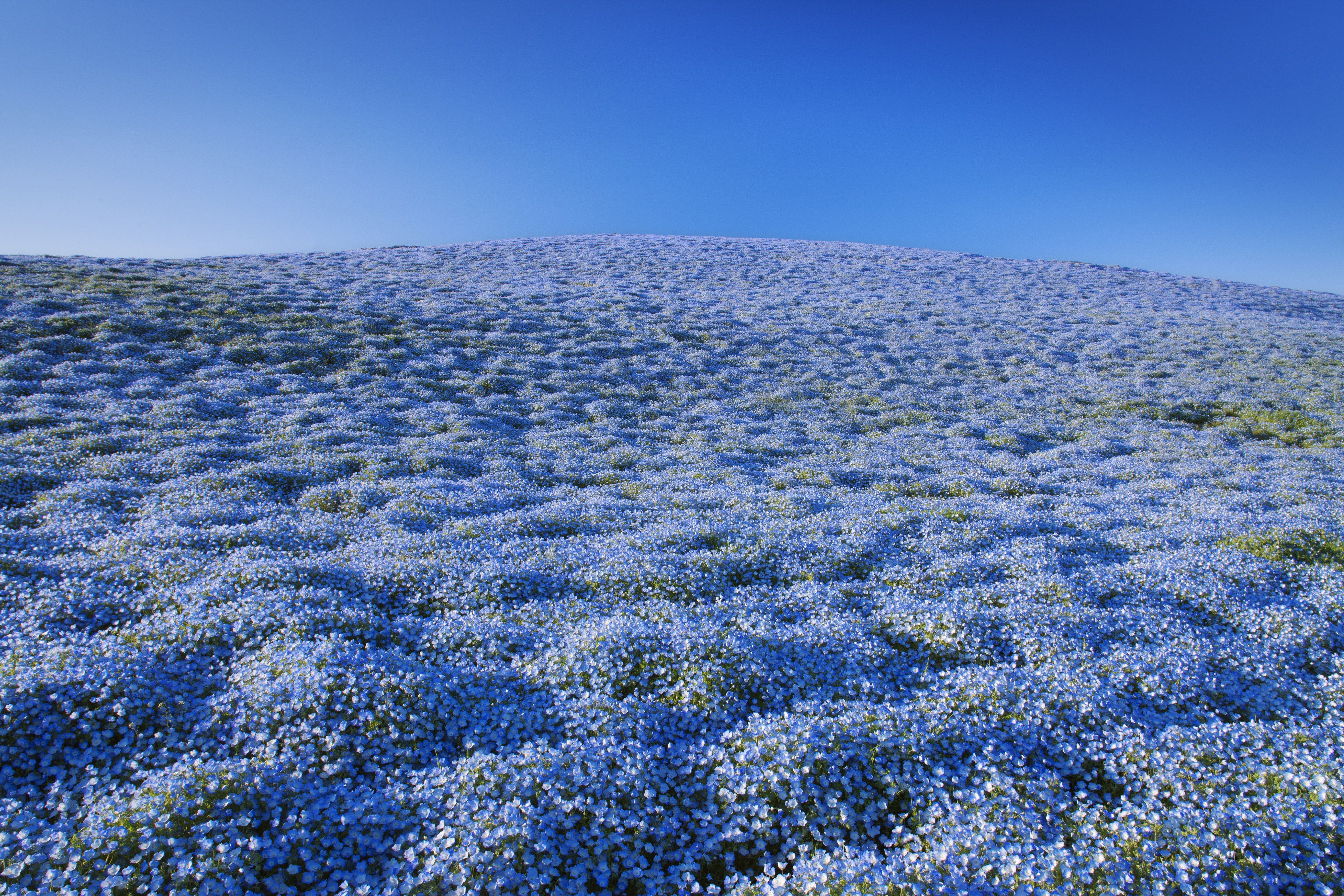 baby blue eyes flower california