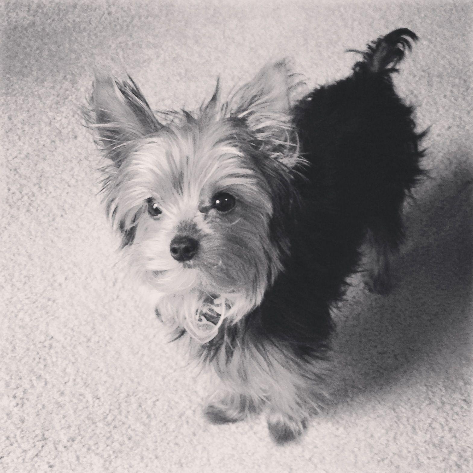 Black White Of My Yorkie Penny 3 Yorkie Cute Puppy Breeds Yorkie Dogs