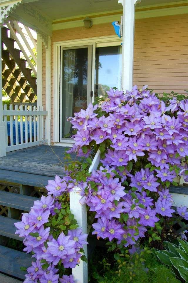 clematis pflegen veranda treppen geländer ranken | veranda, Gartengerate ideen