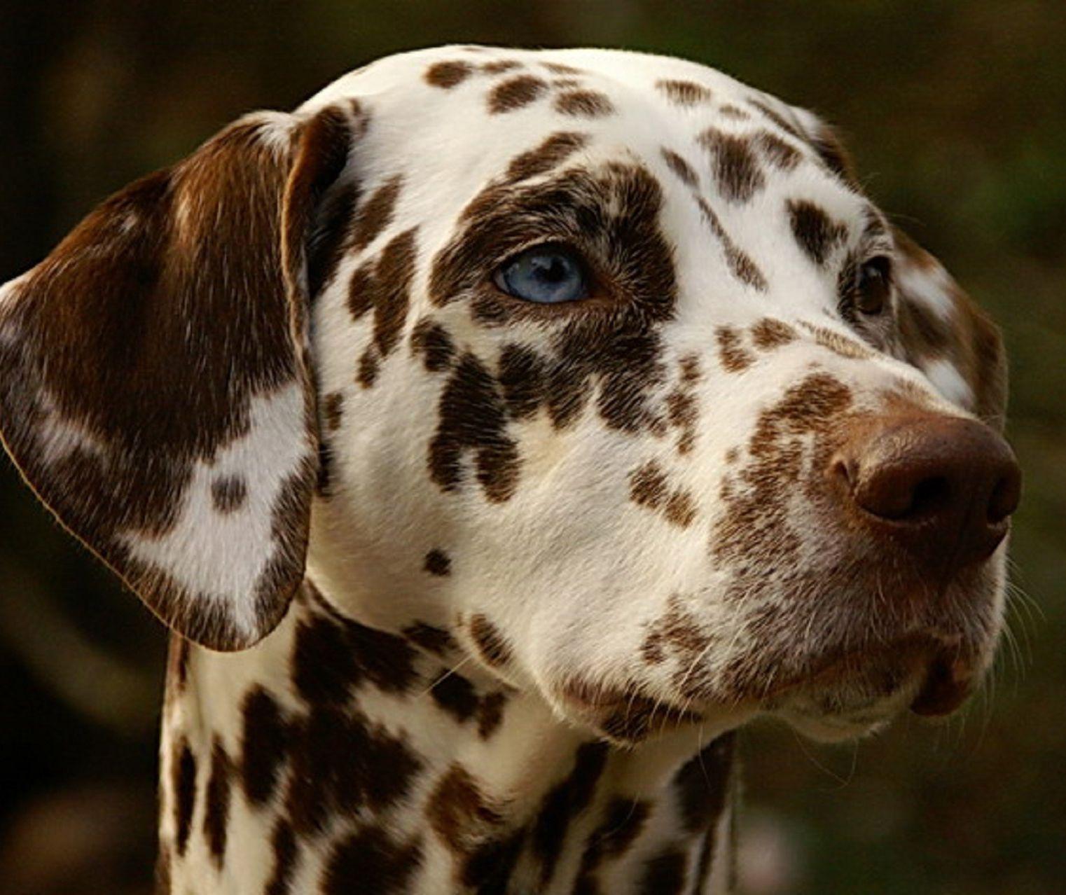 Purebred Dalmatian for sale on Pickapaw. Registered
