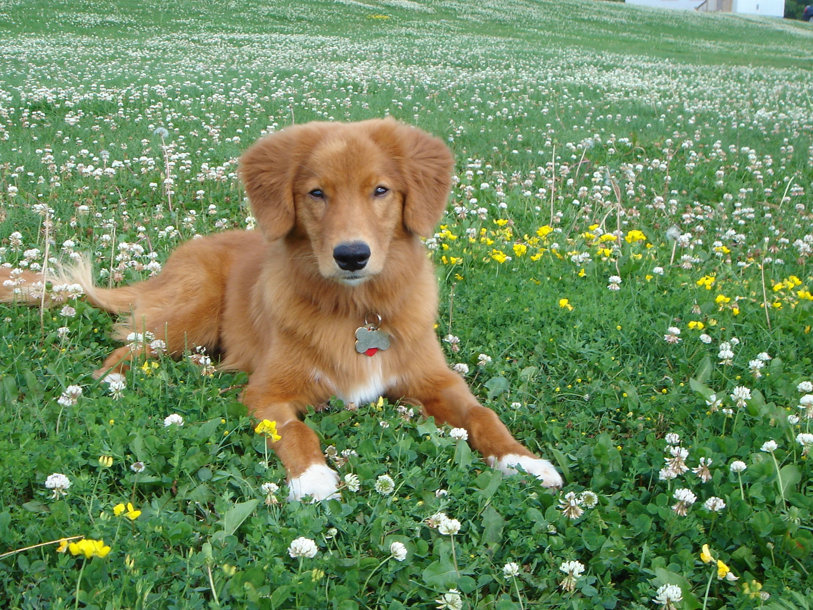 So Cute I Want One Nova Scotia Duck Tolling Retriever 1 Year Old Dachshunde Tolle