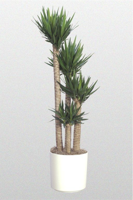 Yucca Spineless Cane Indoor Palm Trees Indoor Palms