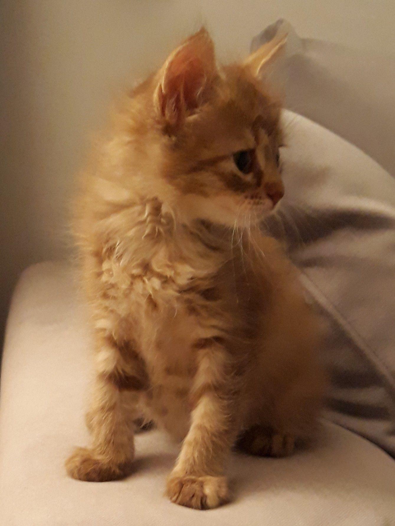 Ginger kitten #gingerkitten Ginger kitten #gingerkitten Ginger kitten #gingerkitten Ginger kitten #gingerkitten Ginger kitten #gingerkitten Ginger kitten #gingerkitten Ginger kitten #gingerkitten Ginger kitten #gingerkitten