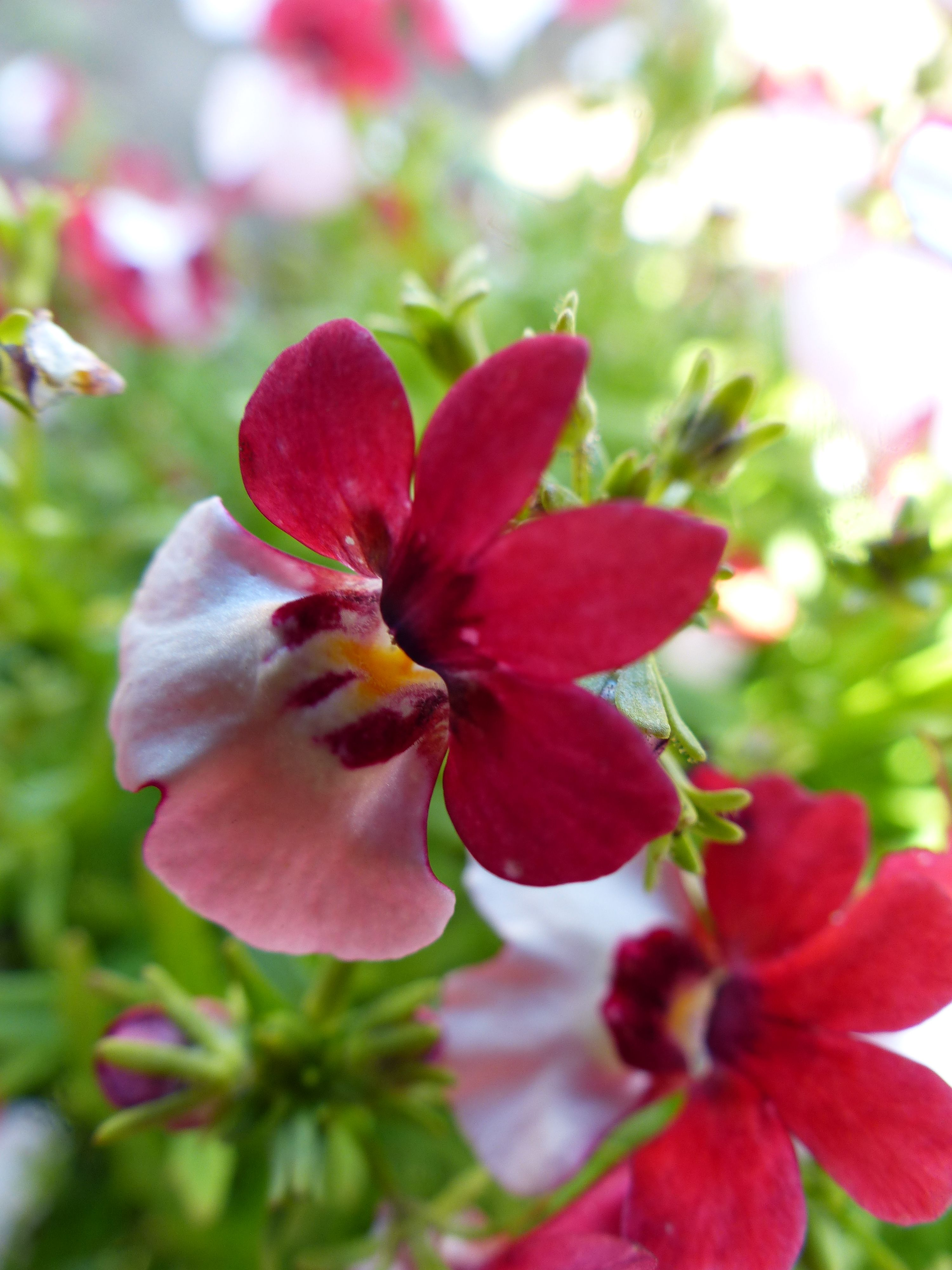 Nemesia strumosa triumph national ensign exciting new variety find this pin and more on flowers perennials and annuals dhlflorist Gallery