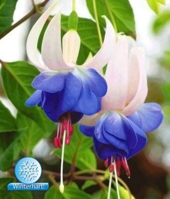 Blaue Fuchsie ´Blue Sarah´ von BALDUR-Garten auf blumende Garten