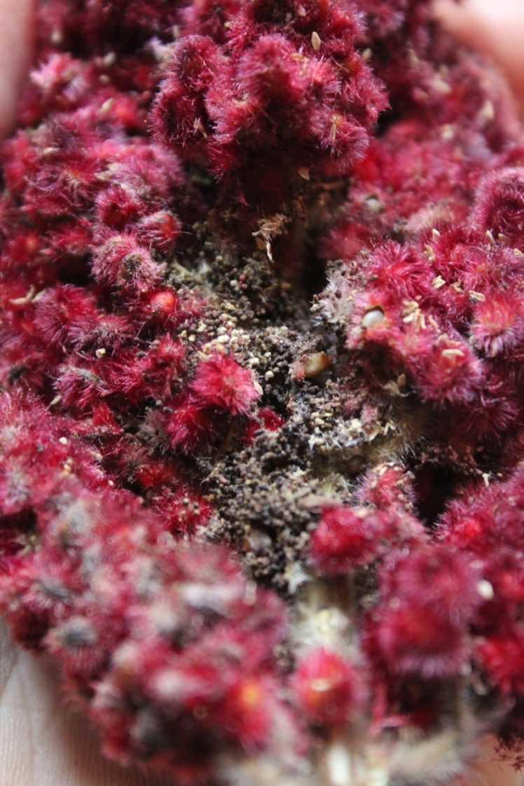 Foraging using staghorn sumac with images sumac