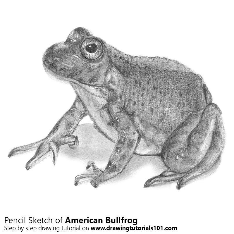 Diagram Of An American Bullfrog - Wiring Diagram Database •