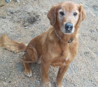Meet Charlie A 12 Years Retriever Golden Mix Available For Adoption In Beatrice Ne Dog Adoption Retriever Pets