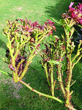A Plague Of Roses Rosette Disease Rose Diseases When To Prune