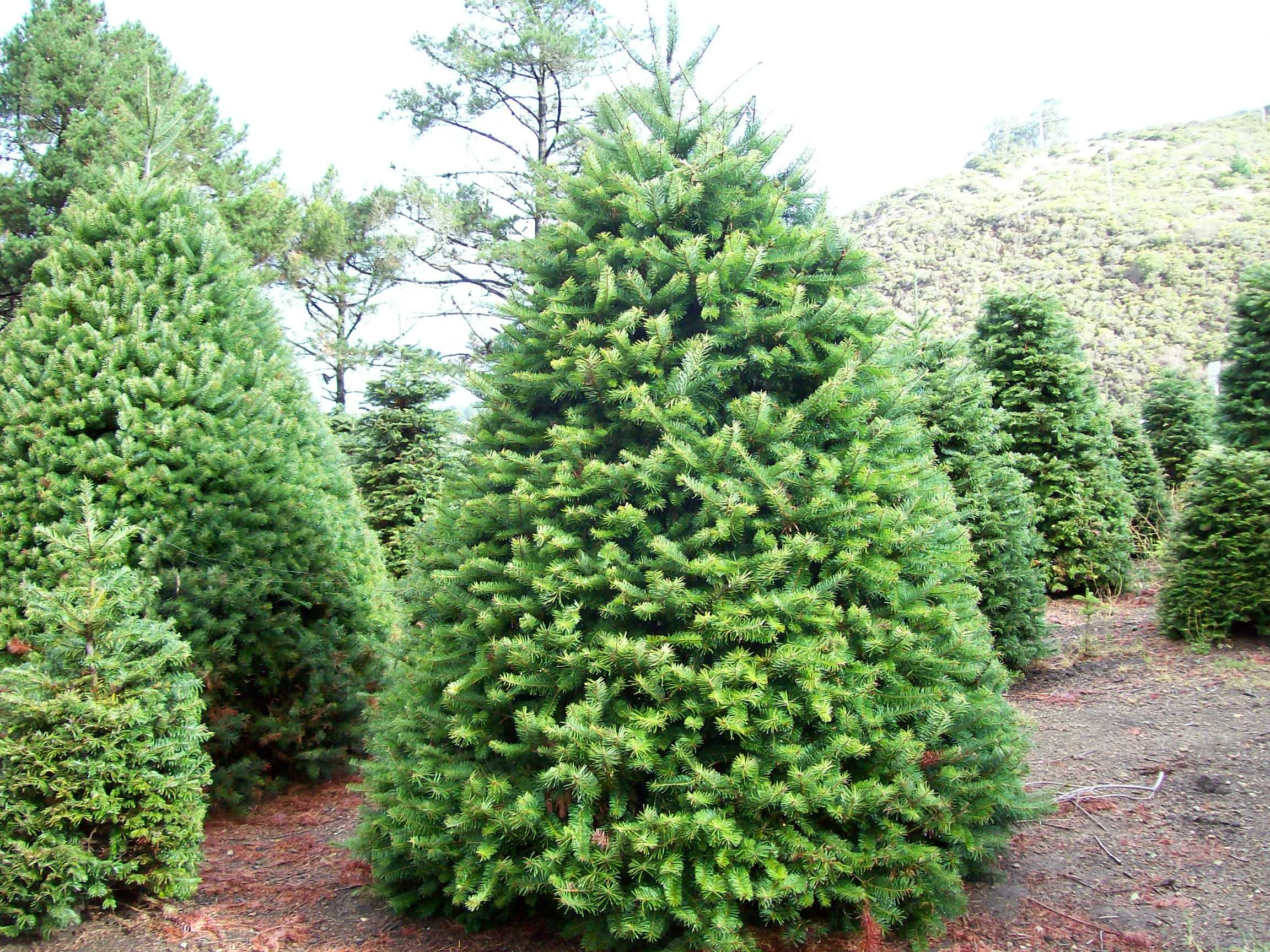 I love big, fat Christmas trees! My favorite decoration!! | All ...