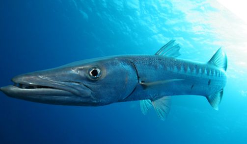 Belize barracuda belize pinterest belize animal for Deep sea fishing belize