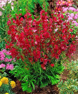 Prariemalve Pflanzen Sonnenpflanzen Mehrjahrige Pflanzen