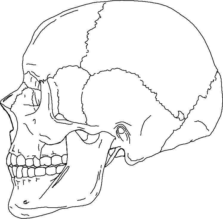 Human Skull Suture Anatomy Skullside Human Anatomy Charts Anatomy Coloring Book Skull Coloring Pages Skull Anatomy