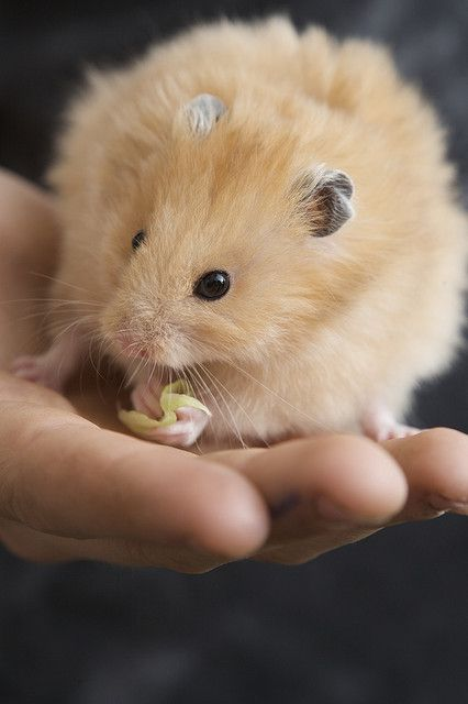 Golden Hamster Cute Animals Cute Hamsters Funny Hamsters
