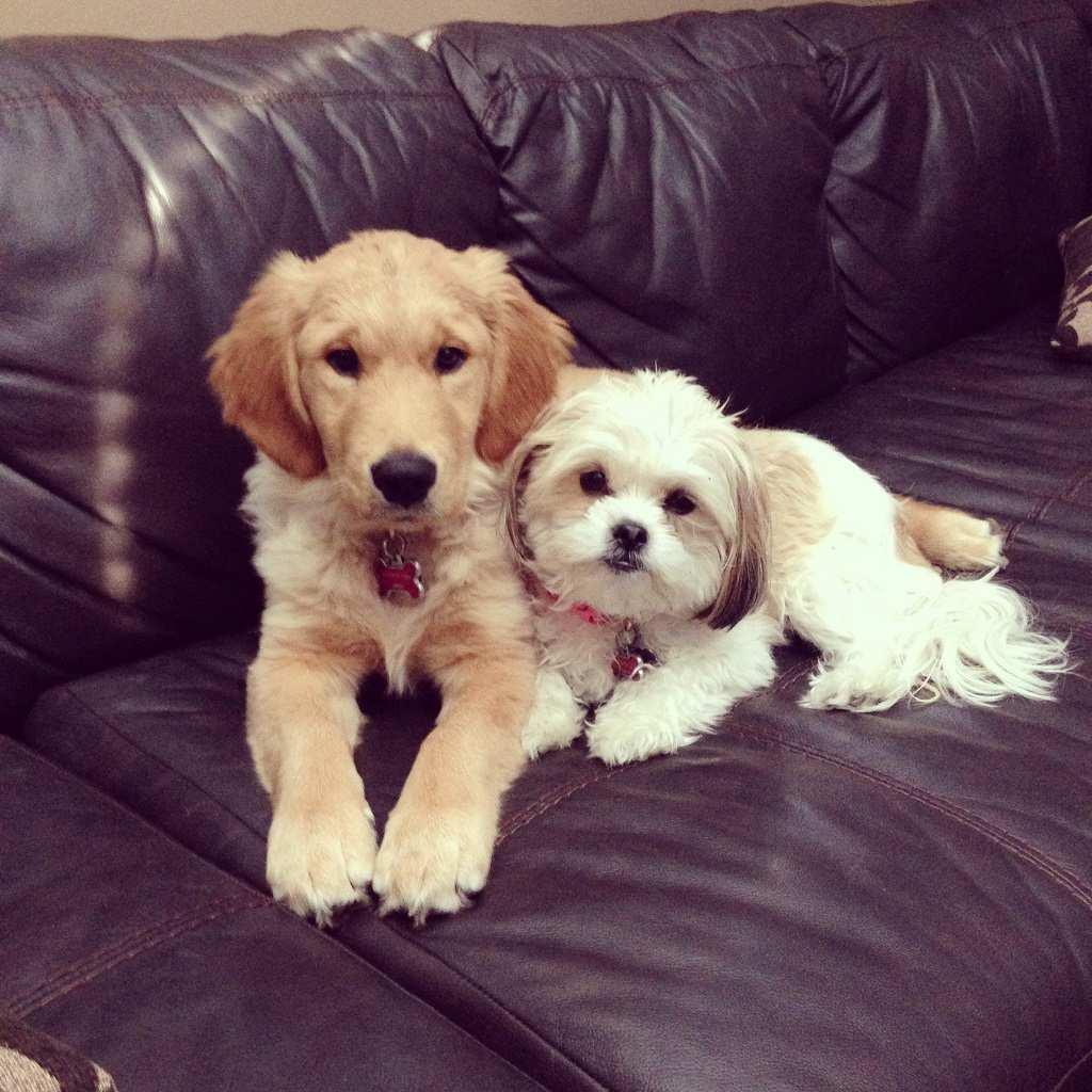 Do Shih Tzu And Golden Retrievers Get Along Retriever Mix Dog Breeds Golden Retriever Mix