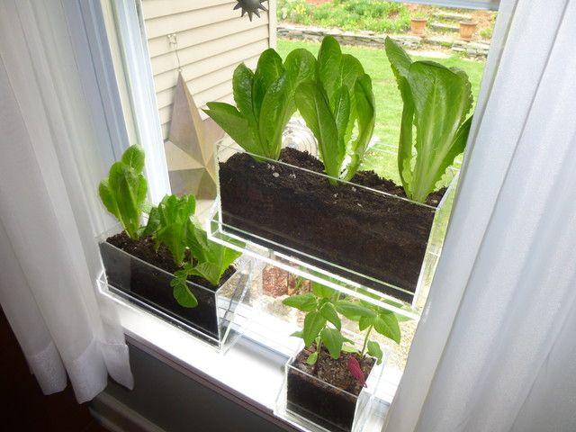 Romaine Lettuce Window
