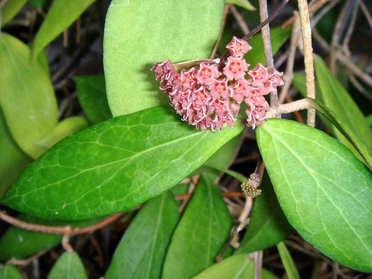 Hoya Camphorifolia From The Philippines Flowers Hoyas Milkweed