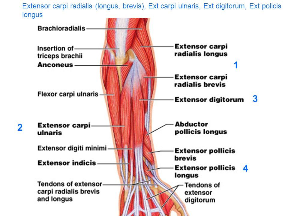 Extensor Carpi Radialis Longus And Brevis Origin Insertion Nerve