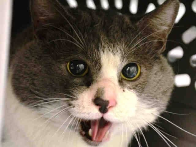 Killed at ACC- TO BE DESTROYED 9/28/14 ** Finder found Morton in the hallway of building. She fed him for three days in the hallway. Finder stated that Morton allowed petting but had to be restrained with a towel to be placed in carrier. Cat was stress during intake. Became stiff and hissed, but allowed counselor to photograph ** Manhattan Center  My name is MORTON. My Animal ID # is A1015219. I am a male blue and white dom sh mix. The shelter thinks I am 5.  STRAY on 09/24/2014 fr NY 10461
