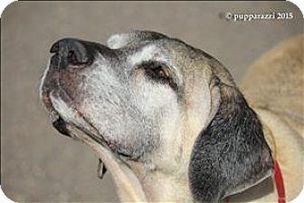 Duluth Mn Mastiff Mix Meet Rio A Dog For Adoption Http Www Adoptapet Com Pet 14180537 Duluth Minnesota Mastiff Mastiff Mix Dog Adoption Kitten Adoption