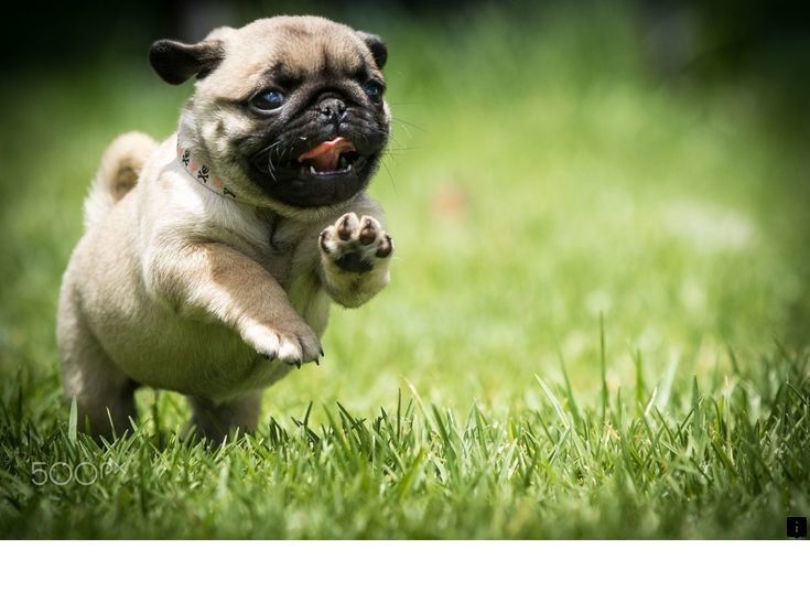 Learn More About Pug Puppies For Sale Near Me Check The Webpage