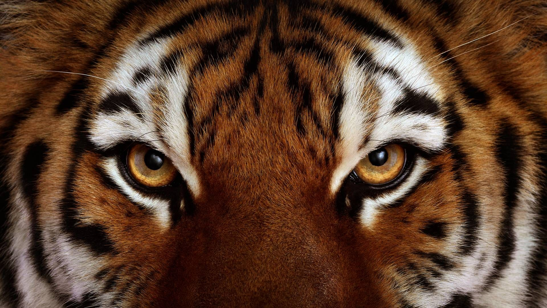 Pix For Angry Tiger Face Wallpaper Beautiful Animals Animals