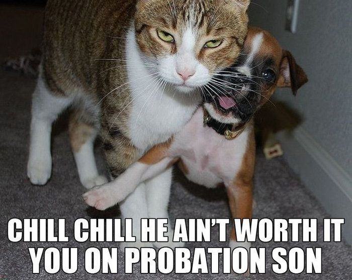 Lol Chill You Re On Probation Son Cats Dogs Funny Animal
