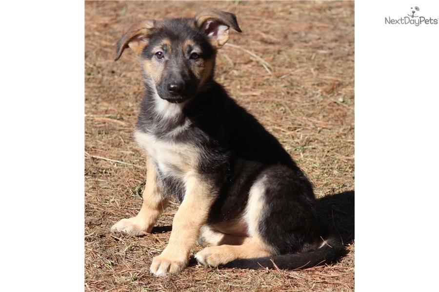 German Shepherd Puppy For Sale Near Grand Rapids Michigan