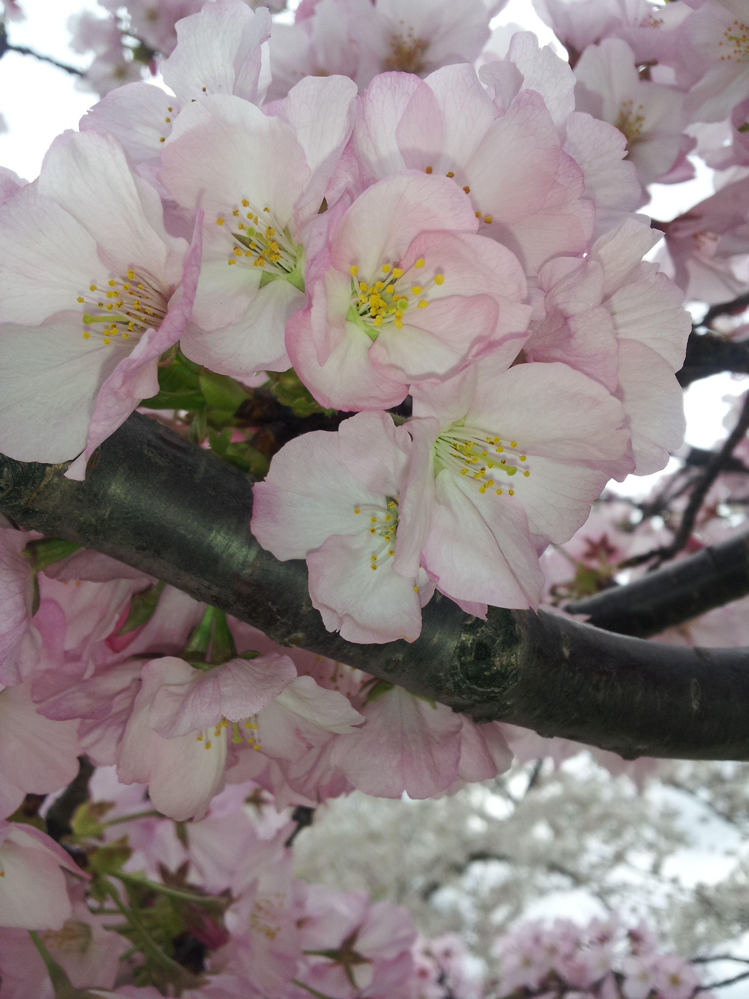 Cherry Blossom Trees In Washington Dc Cherry Blossom Tree Blossom Trees Amazing Flowers