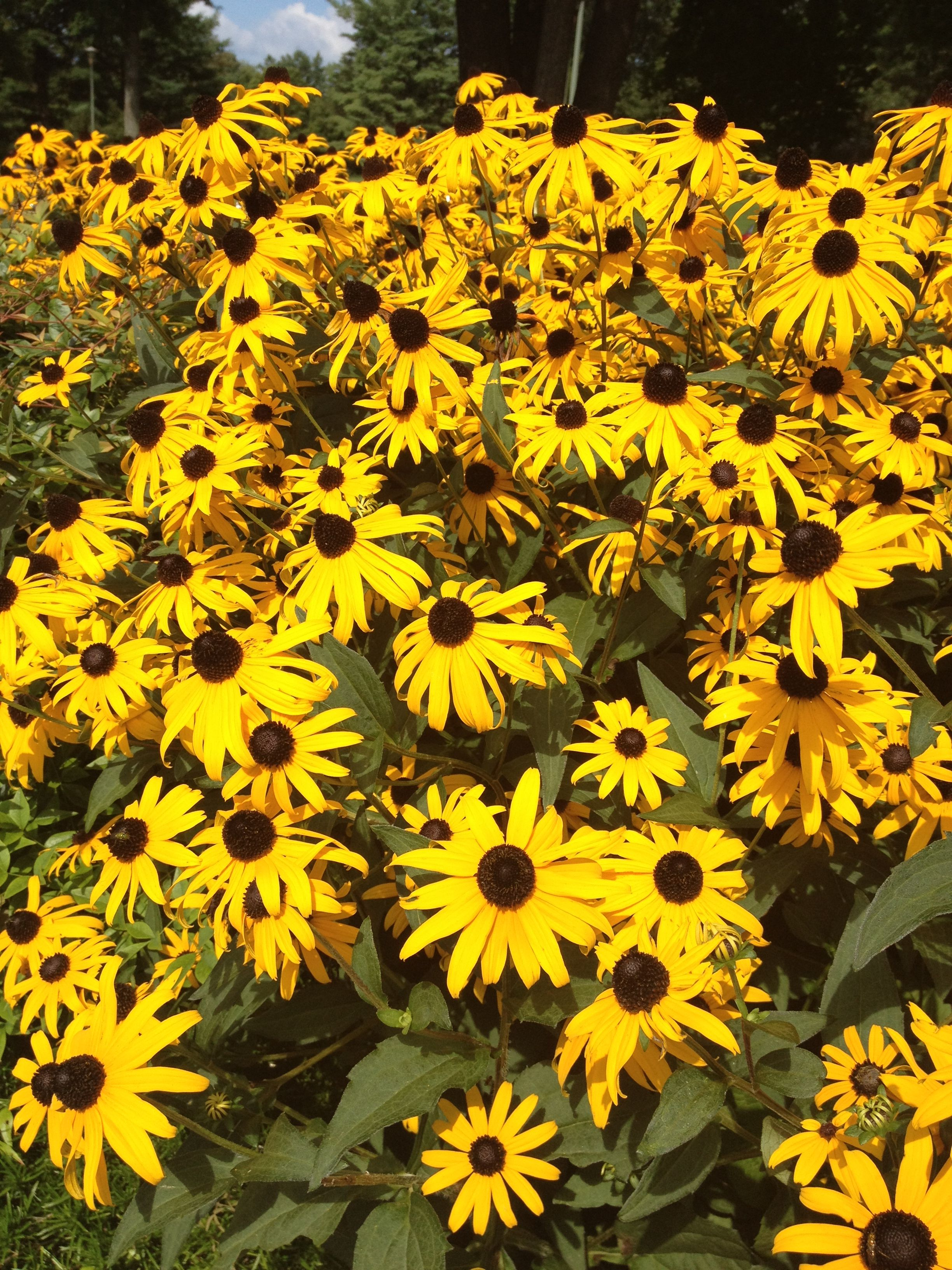 The name Sunflower originates from the Greek word 'helios