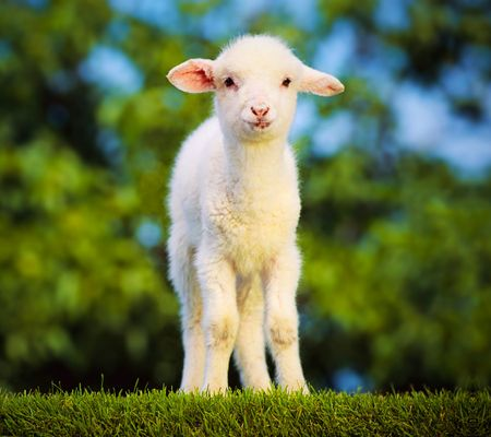 Free Spring Lamb Wallpaper Resolution 1920 X Tags