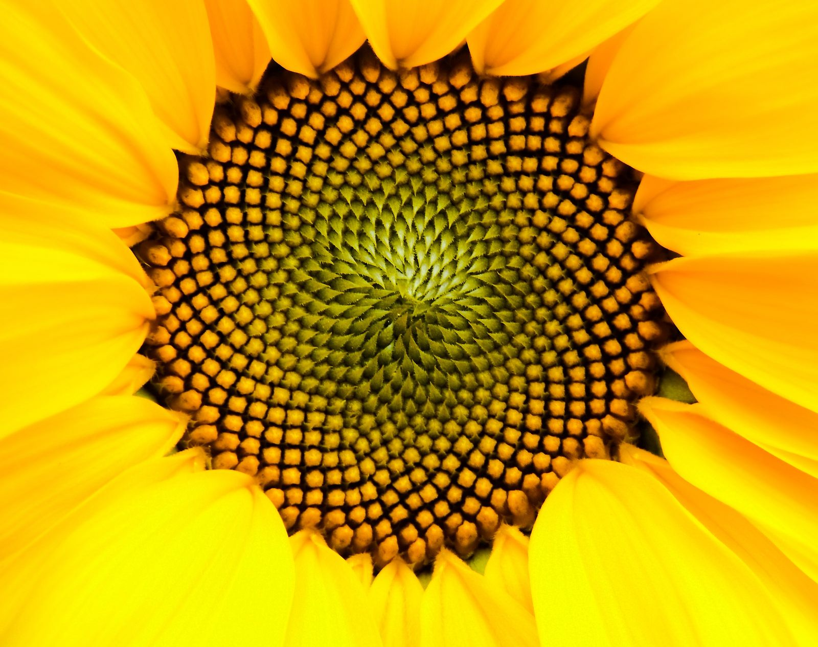Color Schemes Flower Head [Inflorescence] Of Sunflower [Helianthus], With Outer Ray