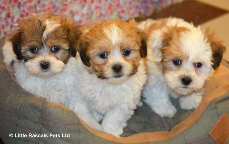 Stunning Shichon Zuchon Babies Designer And Cross Breed Puppies