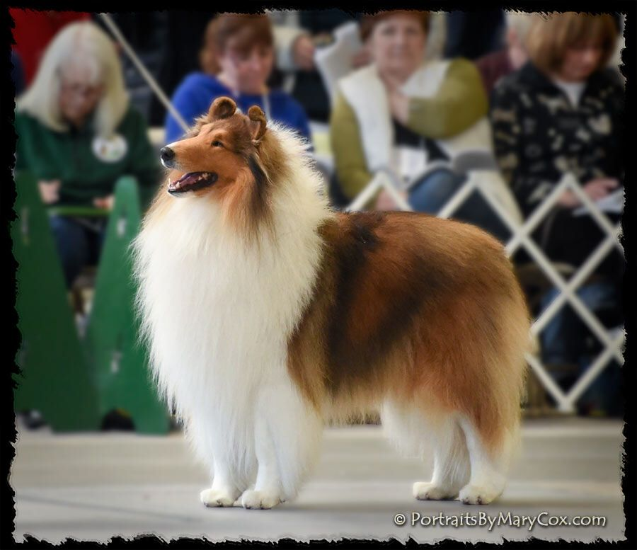 Gr Ch Aurealis Endeavour Ryan Stunning Typey Boy Dog Breeds Herding Dogs Rough Collie