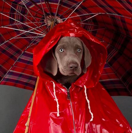 Image result for william wegman dogs rain