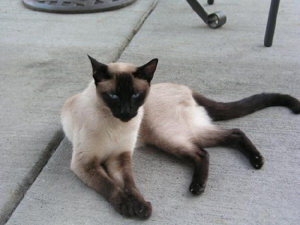 Siamese Siamese Kittens For Sale Offer Virginia Charlottesville