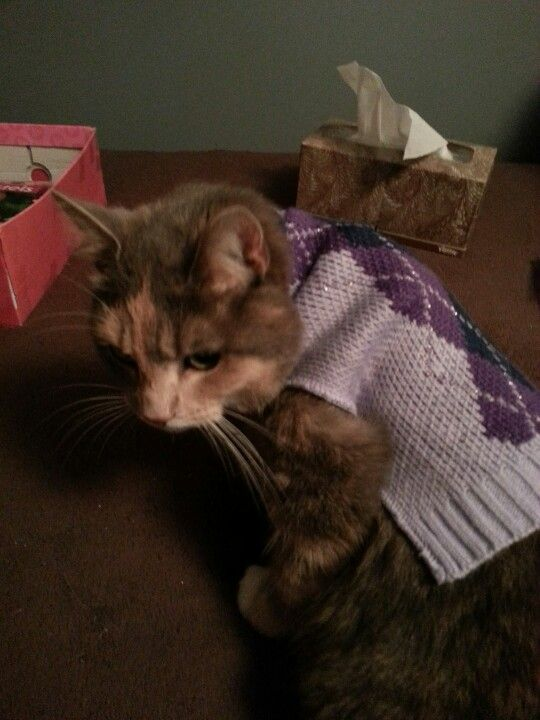 cat wearing argyle= greatness