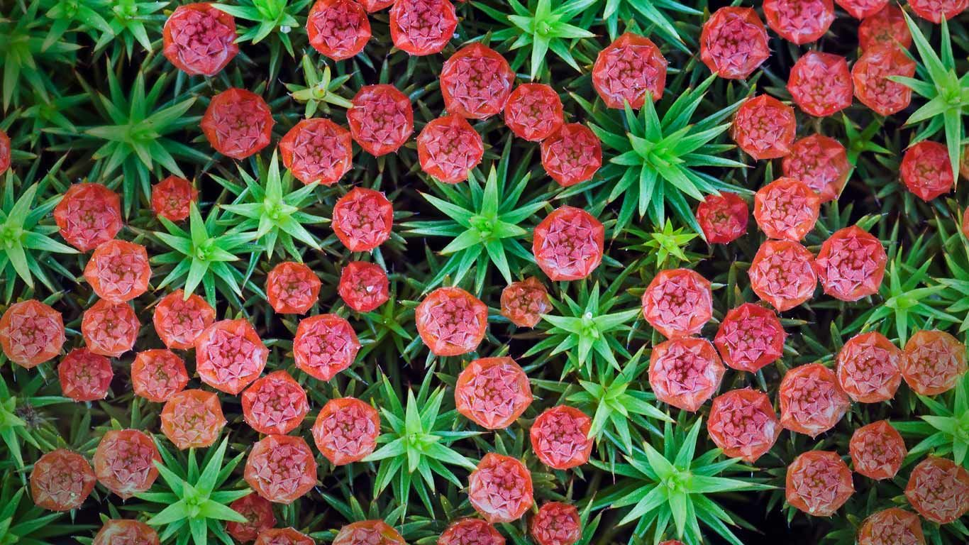 Image result for Polytrichum Moss Hair Cap Mosses- Polytrichum commune, Polytrichum juniperinum