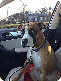 Westminster, MD Boxer Mix. Meet Karma, a dog for