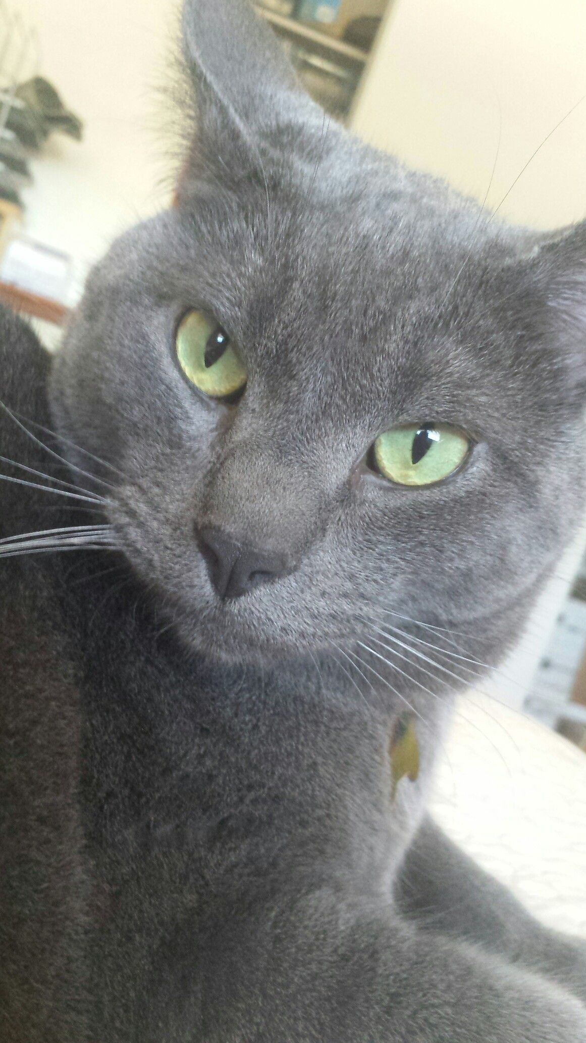 Russian Blue tabby mix I know that look Russian blue