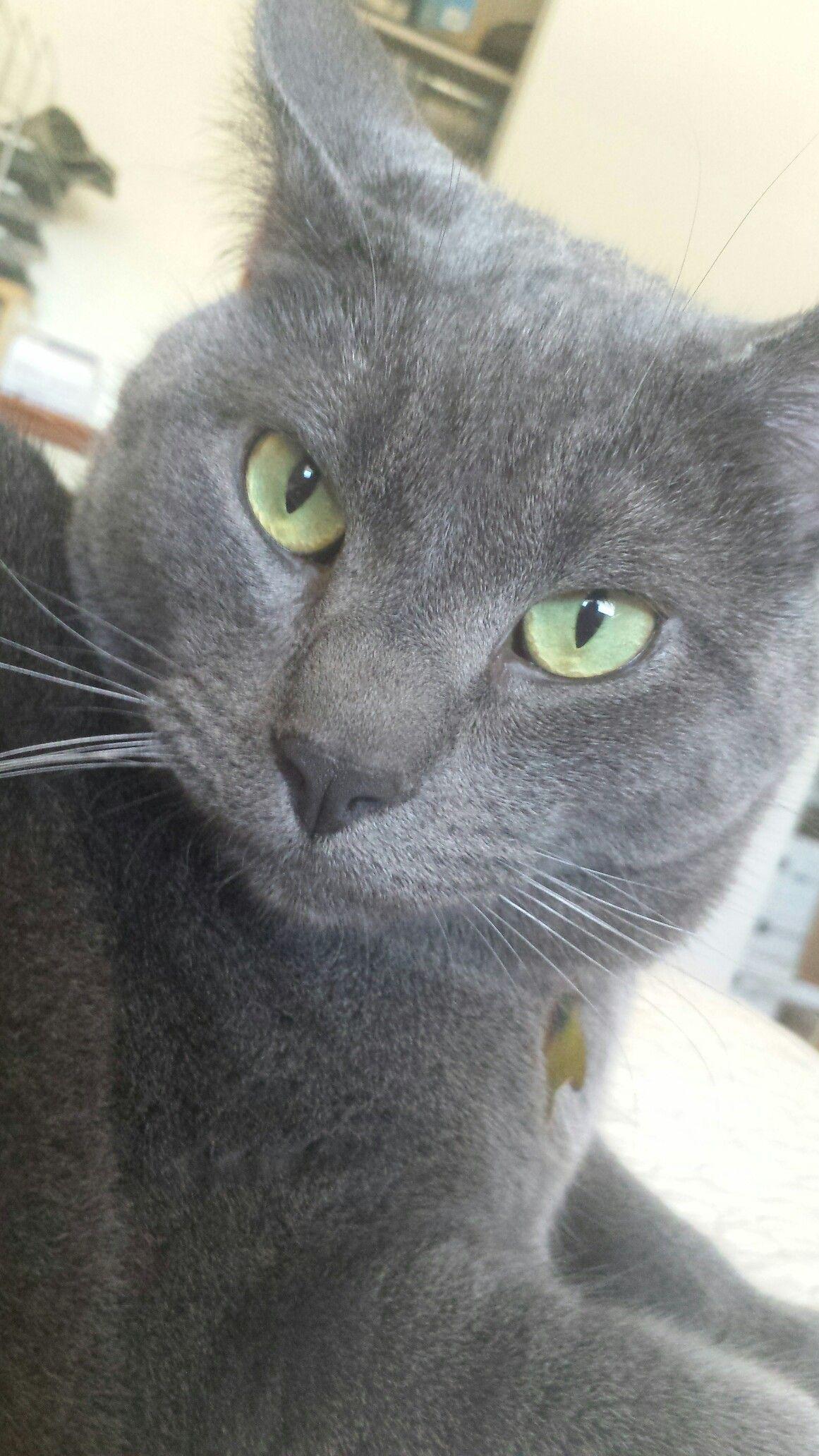 Russian Blue Tabby Mix Russian Blue Russian Blue Cat Grey Cats