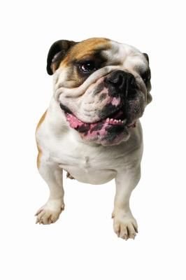 How To Take Care Of A Heat Rash For A Bulldog Heat Rash Dog