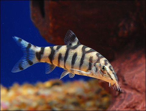 Yoyo Loach Our Female Just Passed Away Aquarium Fish Fish Cool Fish