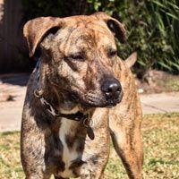 Goober the Catahoula Leopard Dog Needs Your Help - The Santa Barbara Independent