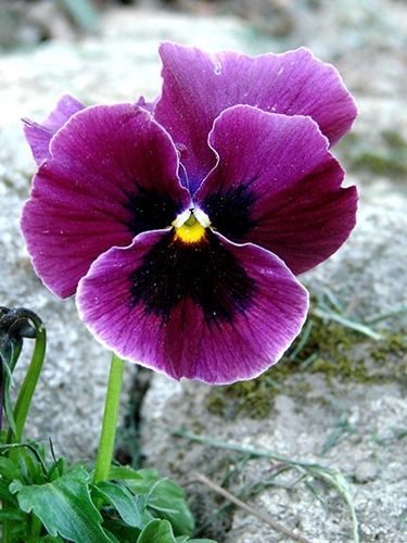 Pansy Or Pansy Violet Pansies Flowers