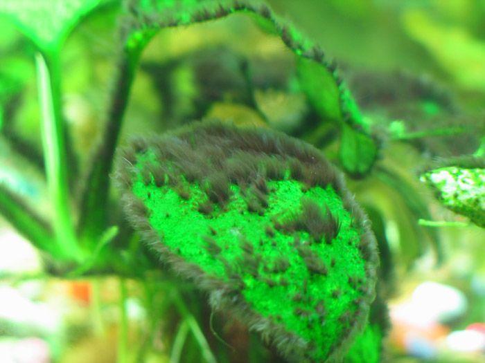 Black Beard Algae Eater | Algae Identification And Treatment Guide Black Brush Beard Algae
