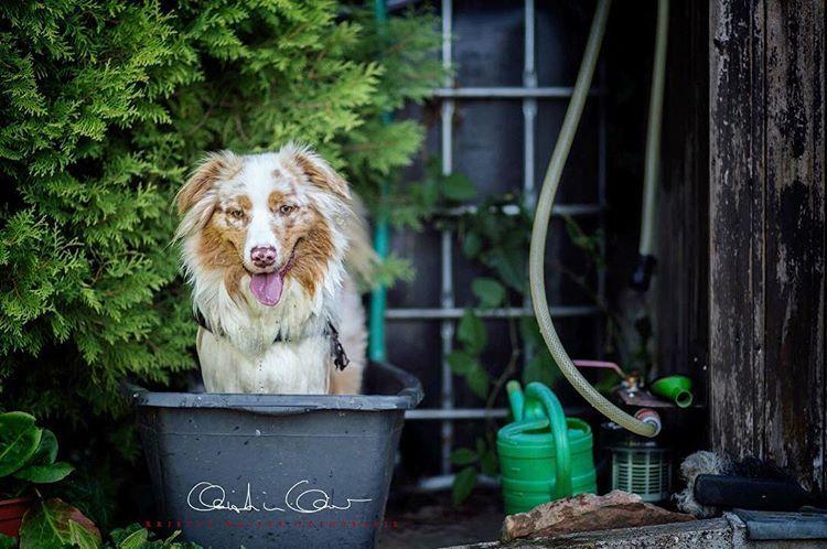 K R I S T I N K A I S E R Kristinkaiserfotografie Instagram Fotos Und Videos Happy Dogs Australian Shepherd