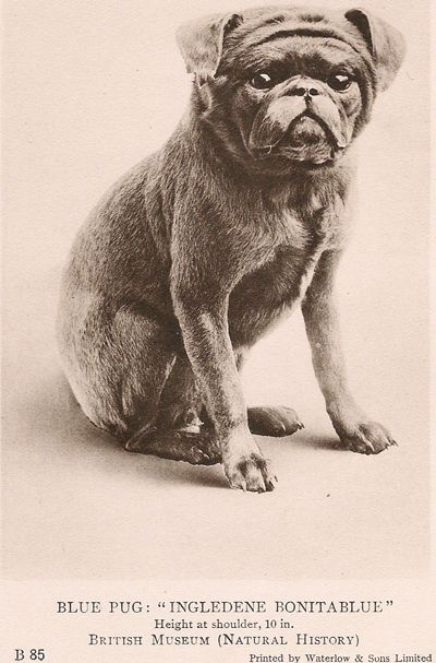 History Of Pugs In England Google Search Cute Pugs Pugs Pug